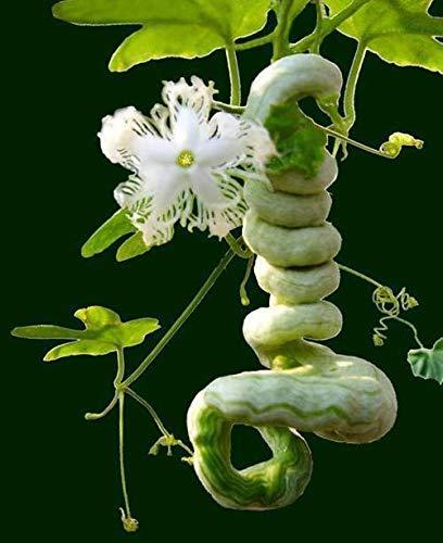 Portal Cool Neue 5 Samen Melone Trichosanthes Schlangenkürbis Bio Gemüse Riesen Super D412