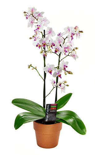 Kabloom Maxiflora Phalaenopsis Bicolor Orchid Plant In A Terracotta, Clay Pot