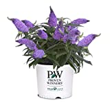 Proven Winner Pugster Amethyst Buddleia 2 Gal, Purple Blooms
