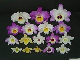 Dendrobium Nobile Mix Adulta - 5 Unidades