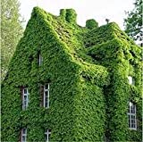 100 Seeds/Pack Green Boston Ivy Seeds Ivy Seed for DIY Home & Garden Outdoor Plants Seeds