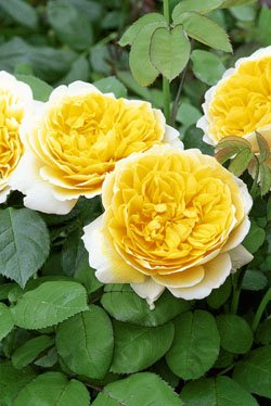 'Charlotte' -R-, Englische Rose im 4 L Container
