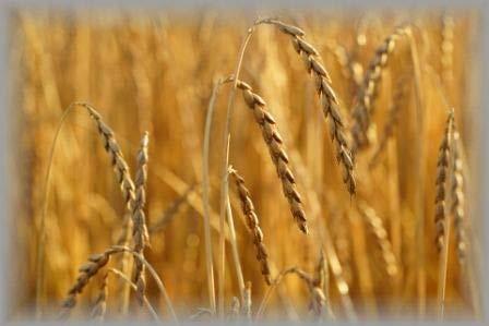 ハーモニーガーデン北海道産スペルト小麦全粒粉強力粉1kg
