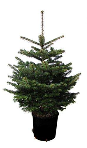 Nordmanntanne im Topf gewachsen Weihnachtsbaum ideal zum Einpflanzen (80-100cm)
