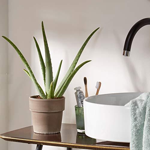 Aloe vera Pflanze | Zimmerpflanze inklusive Ziertopf Grau | Sukkulenten Heilpflanze | Deko Pflanzen | Höhe 40-50 cm | Pflanze mit Topf Ø 13 cm