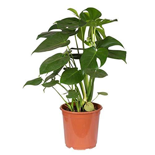 Pflanzen Kölle Fensterblatt, Monstera deliciosa, Gesamthöhe ca. 70 cm