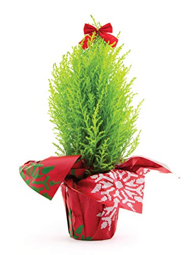 Burpee Live Tabletop Christmas Tree with Red Bow |...