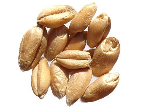 Blé de Castelnau de Montmirail - 40 grammes - Triticum Caesium - Wheat - (Engrais Vert - Green Manure) - SEM01