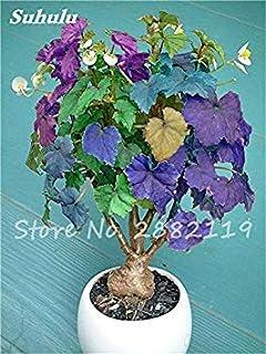ASTONISH SEEDS: 12: Â¡Caliente! 100 piezas hermosas Begonia coleo i, semillas de flores de colores raros en maceta Begonia...