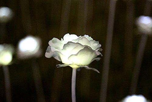 Roses lumineux Graine Salon décoration florale Jeune pousse, Graine facile cultiver des plantes ornementales Bonsai Pot de fleurs 100 Pcs 8