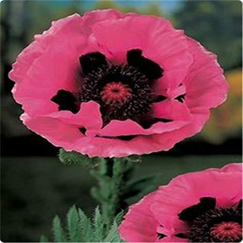 HONIC 100PCS Bonsai Blau Himalaya-Pflanzen Schöner Perennial Blumenpflanze Attraktiver Schmetterling für Hausgarten Pflanze: 1