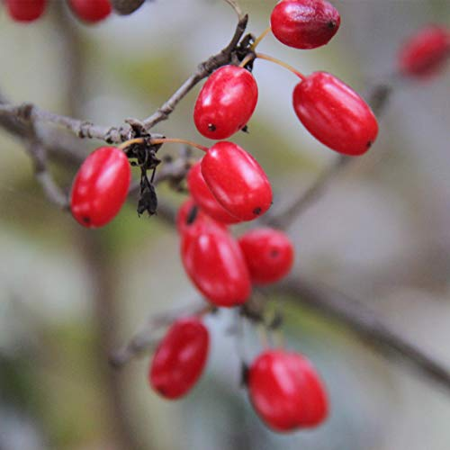 Plant Flower Fruit Seed 20Pcs/Bag Berry Seed Fresh Nutritious Healthy Miracle Fruit Seed for Garden - Seed