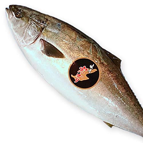 魚水島 新潟 佐度産 天然 鰤 寒ブリ 「佐渡 寒ぶり」 5.0kg〜5.9kg 一尾丸もの