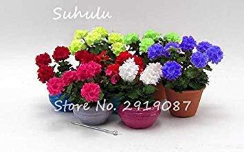 Vistaric 100pcs Rare Mini Geranium Graines Vivaces Belles Fleurs Graines Pelargonium Peltatum Graines disponibles bonsaï en pot mélange couleurs 10