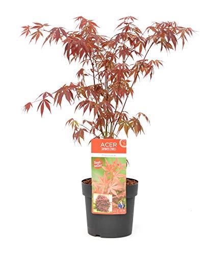 Baum von Botanicly – Roter Fächerahorn – Höhe: 30 cm – Acer Atropurpureum