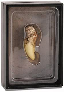 CollectA Prehistoric Life Tooth of Tyrannosaurus Rex in Display Case - Paleontologist Approved Dinosaur Fossil Replica