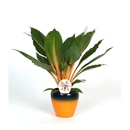 Grünlilie Chlorophytum Green Orange 45 cm Luftreinigend Zimmerpflanze