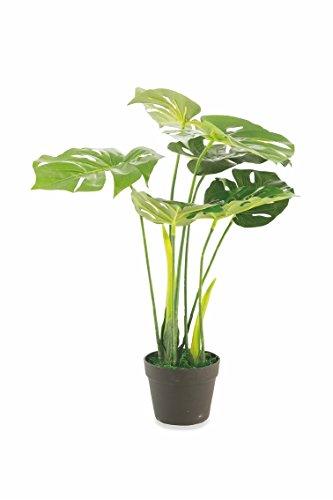 Galileo Monstera - Planta para casa (70 cm, Altura 70 cm), Color Verde