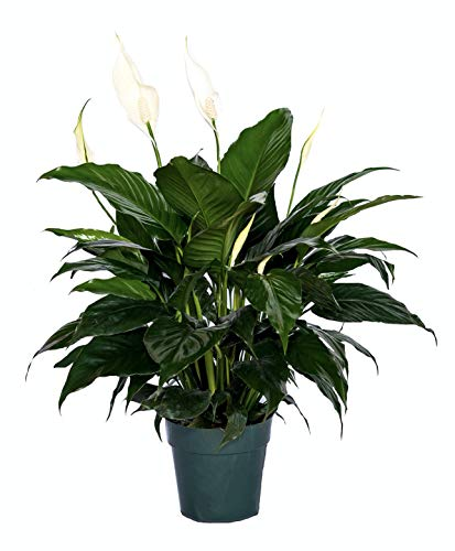 Peace Lily Clean air Plant Friendship Foliage's Family Farm Quality Live Indoor Spathiphyllum (6″ Pot, 14-18in Tall from Bottom of The Pot)
