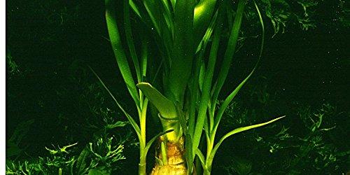 MUTTERPFLANZE Thailändische Hakenlilie - Wasserlilie / Crinum thaianum