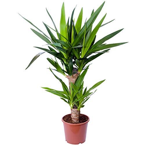 Yucca Palme, Palm - Lilie, Zimmerpflanze, Innenbegrünung, Elephantipes, Klimaverbesserer, pflegeleicht, Immergrün, 1-stämmig, ca. 50-60 cm, Ø Topf 14 cm, Zimmerpalme, Kübelpflanze, Pflanzenversand