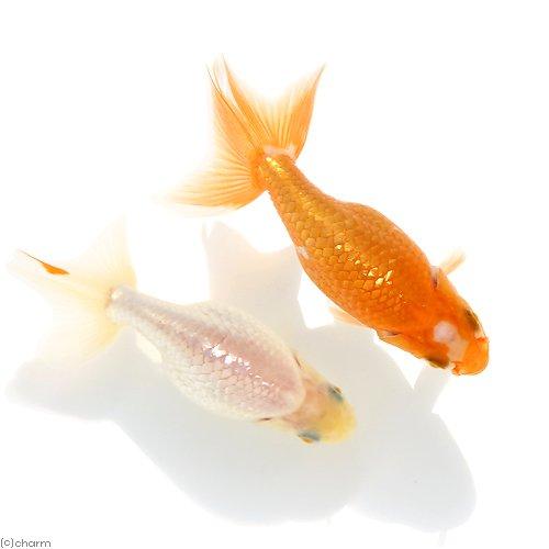(国産金魚)出雲ナンキン 更紗~白(1匹)