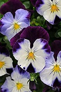 Pansy Cool Wave Violet Wing Flowers Seeds 100 Pcs an