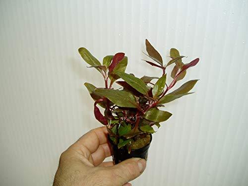 Desconocido Planta de Acuario, gambario, paludario .ALTERNANTHERA ROSAEFOLIA