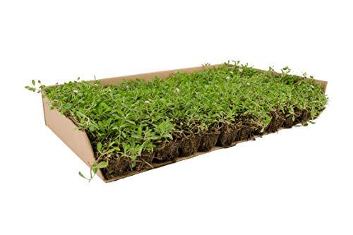 Césped de Lippia Nodiflora (x 5 m² de superficie)