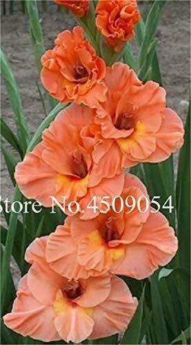 Generic Fresh 200 Pcs Gladiolus Blumensamen zum Pflanzen von Rot