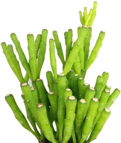 overseas Succulent Plant _ Dancing Bones b Salicornioides 2'' Hatiora Max 48% OFF