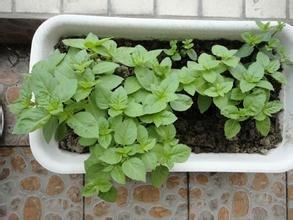 plantes fleurs Flower Garden SeedsAromatic de basilic pourpre foncé, graines foncées de basilic pourpre, plantes aromatiques graines, environ 50 particules