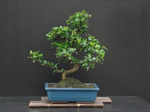 Fukien Tea Bonsai Flowering Plant 17' Tall with 10' Pot Over 15 Years Old Tree