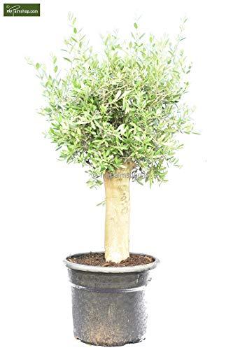 Olea europaea - echter Olivenbaum - verschiedene Größen (140-160cm - Stamm 50-60cm Topf Ø 50cm)