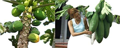 Melonenbaum, Papaya, Früchte aus dem eigenen Garten, Samen,schnellwüchsig, EXOT! 11 Samen