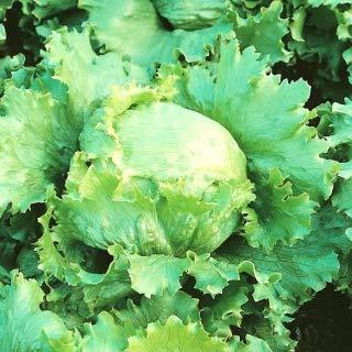 Blonder Salat von De Paris - Kopf für den Anbau im Frühling, Sommer und Herbst - 450 Samen