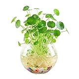 Pianta da vaso idroponica al coperto Pianta della coltura del suolo Pianta di Coppergrass Fiore Pianta acquatica Purificazione Aria Quattro stagioni Fiore Ufficio Pianta verde da tavolo