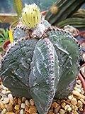Shippment internazionale Astrophytum myriostigma fukuryu @@ giappone cultivar ibridi rare cactus 100 semi Semi ad alta germinazione L'immagine è solo per riferimento