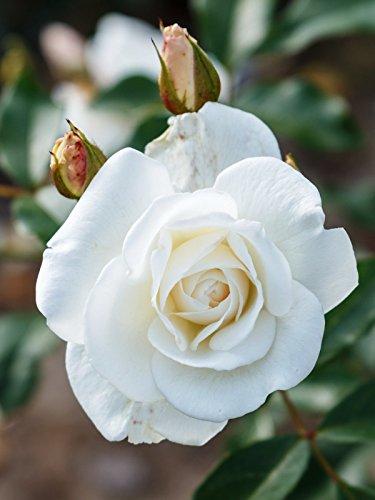 Rose Schneewittchen ® Wurzelware, Qualität A - floranza®