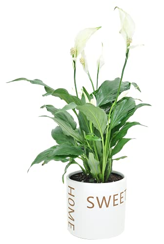 Costa Farms Peace Lily Indoor Plant, Décor Planter, Gift, 12-Inch, Home Sweet Home