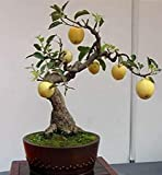 Bonsai Pear Tree Seeds - 8 Large Seeds - Grow Fruit Bearing Bonsai