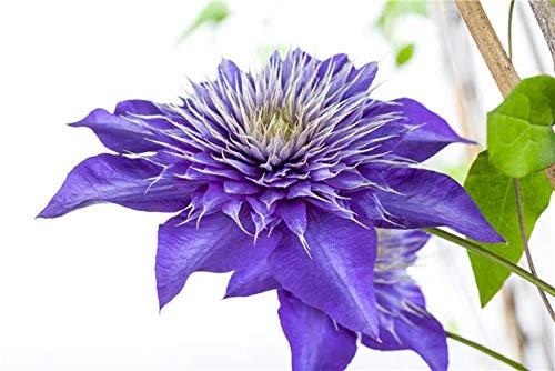 Clematis Hybride 'Multi Blue' Waldrebe Kletterpflanze im Topf gewachsen (40-60cm)