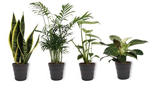 Set von 4 Zimmerpflanzen | in weißem Betontopf | Höhe 25-30cm | Sansevieria Philodendron Monstera Chamaedorea | Topf 12cm