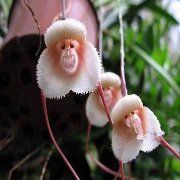 Pets Delite® Seltene schwarze Orchidee Blumensamen Exotische Orchidee Hausgarten Bonsai saatn Samen - 100 PCS