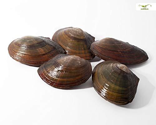 Teichmuschel für den Gartenteich + 1 x NH ToxEx Ball - schwebe Algen vernichter/Algenkiller/Biofilter für Teich, Menge:5 STK.