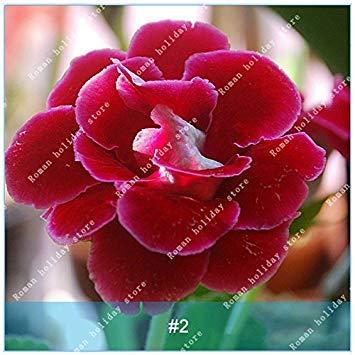 ZLKING de coloré Gloxinia semences Plantes vivaces à fleurs Graines de fleurs Sinningia speciosa Bonsai Balcon Rouge