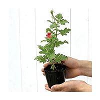 (観葉植物)ハーブ苗 ゼラニウム(品種おまかせ) 3号(3ポット) 家庭菜園