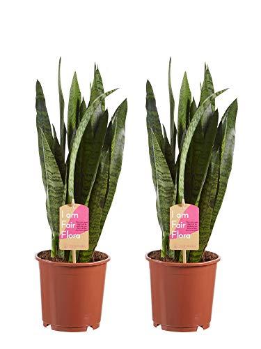 Plantas de interior de Botanicly – 2 × Lengua de tigre – Altura: 50 cm – Sansevieria Zeylanica