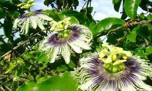 Mikes hybride Passiflora edulis Choix   20_Seeds POUR NOUS