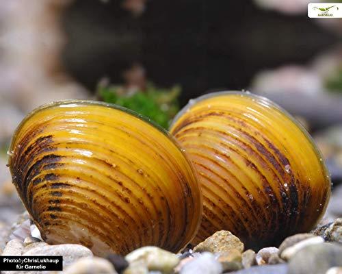 Garnelio - Goldene Körbchenmuschel - Corbicula javanicus - 5er Gruppe